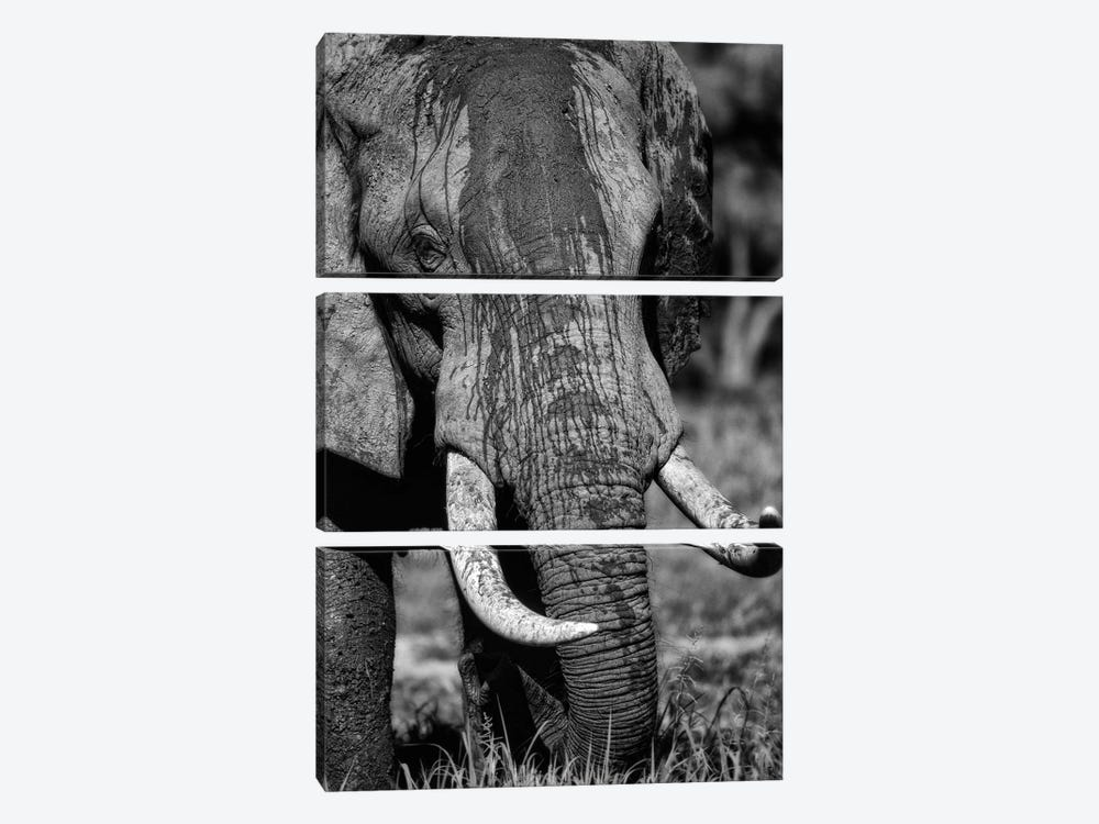 Tusks by Niassa Lion Project 3-piece Canvas Art
