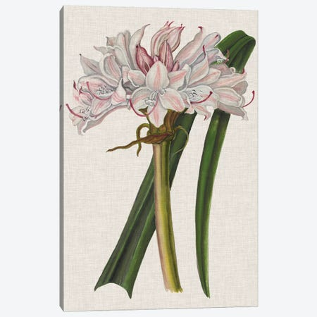 Crinium Lily I Canvas Print #NMC138} by Naomi McCavitt Canvas Wall Art