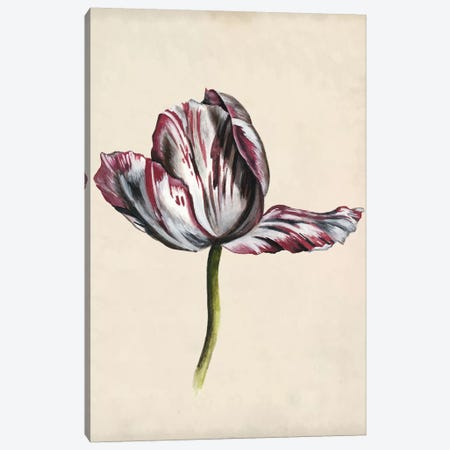 Antique Tulip Study II Canvas Print #NMC169} by Naomi McCavitt Canvas Print