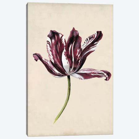 Antique Tulip Study IV Canvas Print #NMC171} by Naomi McCavitt Canvas Artwork