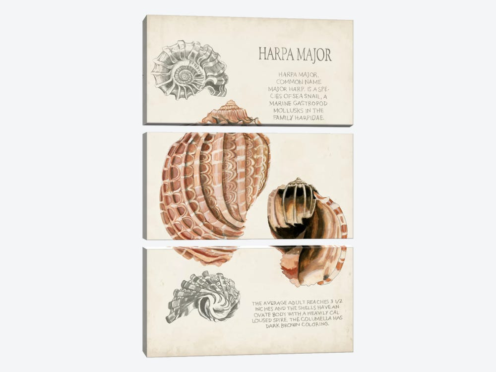 Seashell Field Notes II by Naomi McCavitt 3-piece Canvas Wall Art