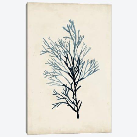 Seaweed Specimens IV Canvas Print #NMC59} by Naomi McCavitt Canvas Print