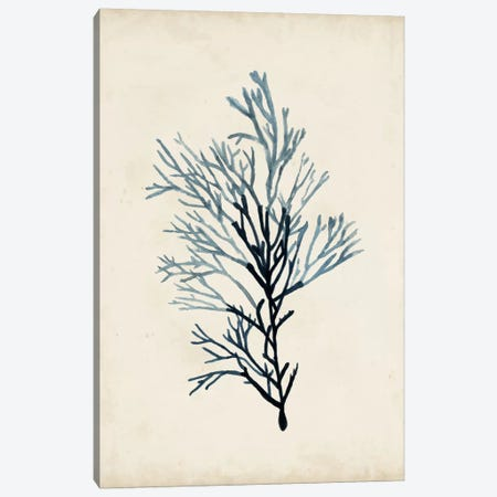 Seaweed Specimens IV Canvas Print #NMC59} by Naomi McCavitt Canvas Print