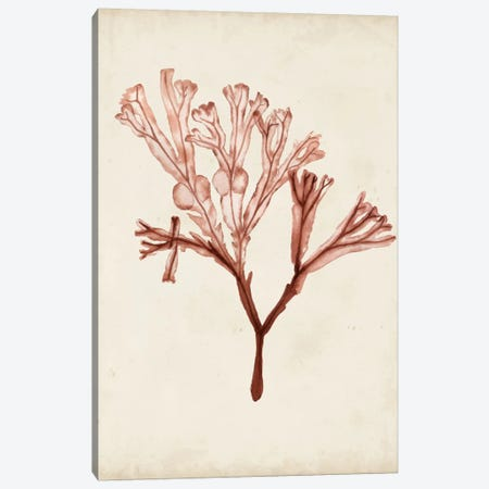 Seaweed Specimens V Canvas Print #NMC60} by Naomi McCavitt Canvas Wall Art