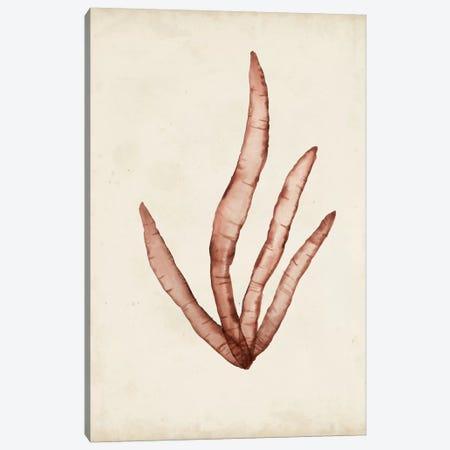Seaweed Specimens VIII Canvas Print #NMC63} by Naomi McCavitt Canvas Art