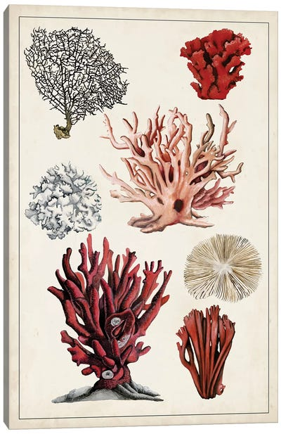Antique Coral Study I Canvas Art Print