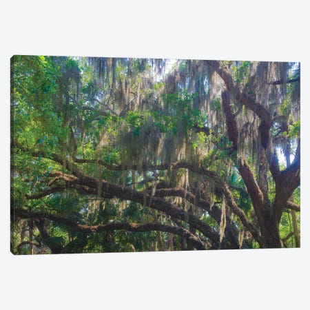 USA, Florida. Tropical garden, living oak with Spanish moss. Canvas Print #NNA29} by Anna Miller Canvas Artwork