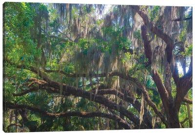 USA, Florida. Tropical garden, living oak with Spanish moss. Canvas Art Print