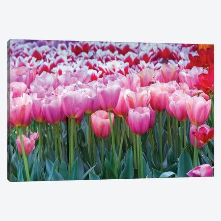 Pink tulips Canvas Print #NNA2} by Anna Miller Canvas Art Print