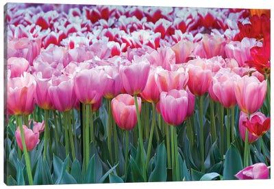 Pink tulips Canvas Art Print