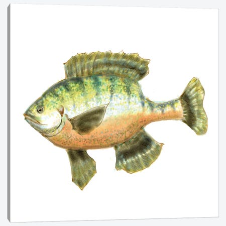 Illustrated Bluegill Canvas Print #NOV4} by Rick Novak Canvas Art Print