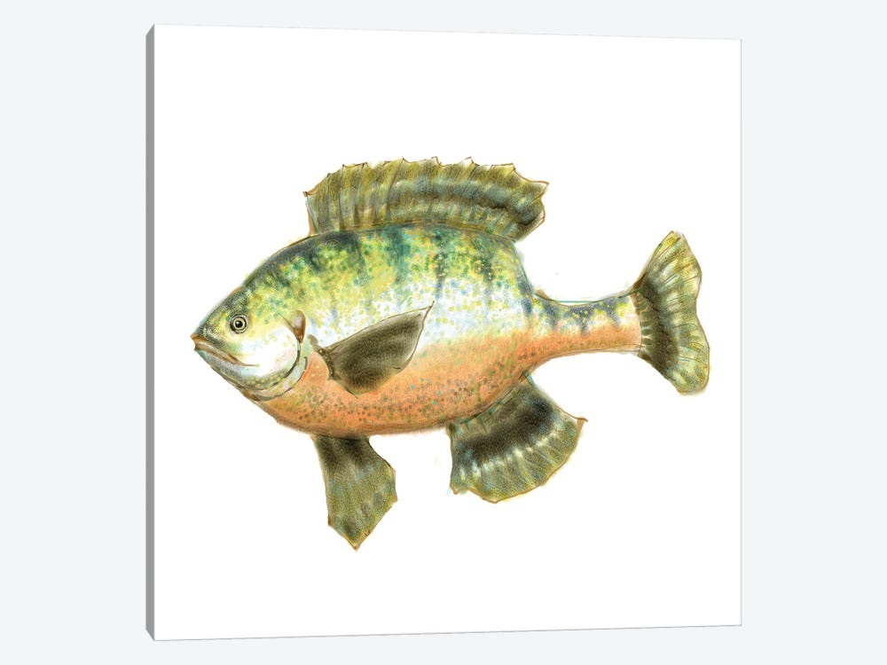 Illustrated Bluegill by Rick Novak 1-piece Canvas Art