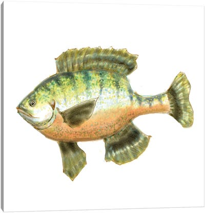 Illustrated Bluegill Canvas Art Print
