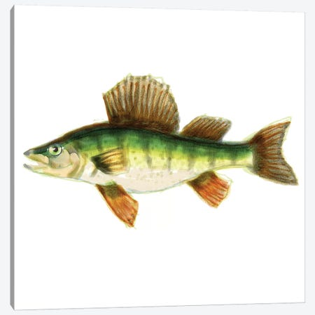 Illustrated Yellow Perch Canvas Print #NOV8} by Rick Novak Canvas Artwork