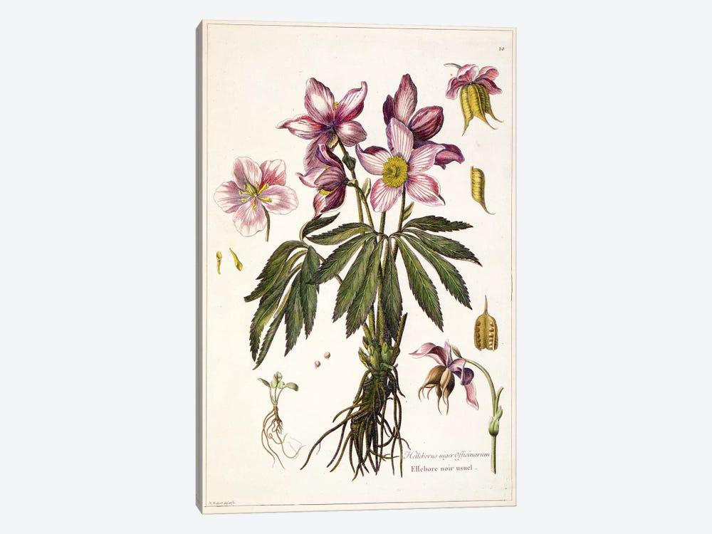 Helleborus niger (Christmas Rose) by Nicolas Robert 1-piece Canvas Art