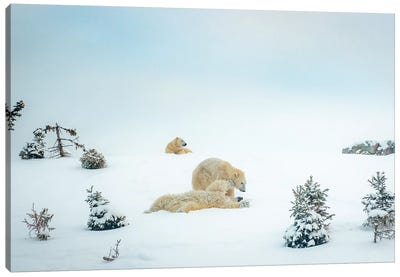 3 Polar Bears Resting And Playing Canvas Art Print