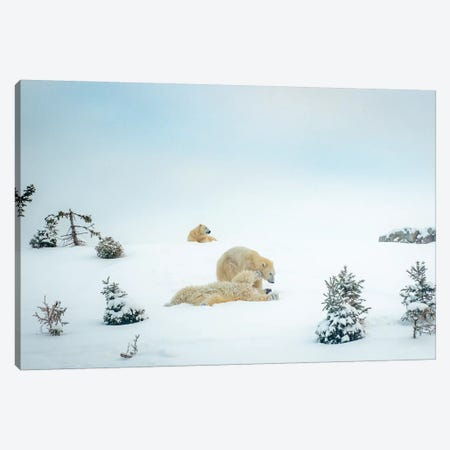 3 Polar Bears Resting And Playing Canvas Print #NRV101} by Nik Rave Art Print