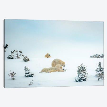 3 Polar Bears Resting And Playing Canvas Print #NRV101} by Nik Rave Art Print