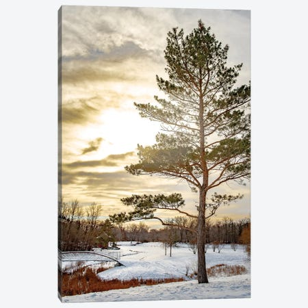 Pine Covered By Light Canvas Print #NRV105} by Nik Rave Canvas Wall Art