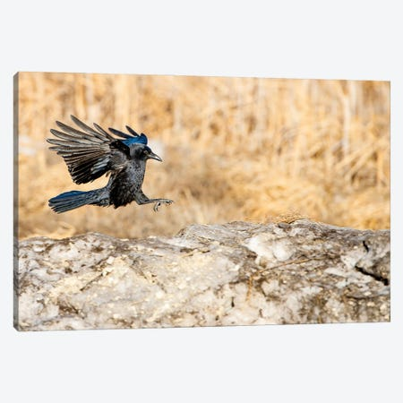 Landing On The Rock Crow Canvas Print #NRV110} by Nik Rave Canvas Artwork