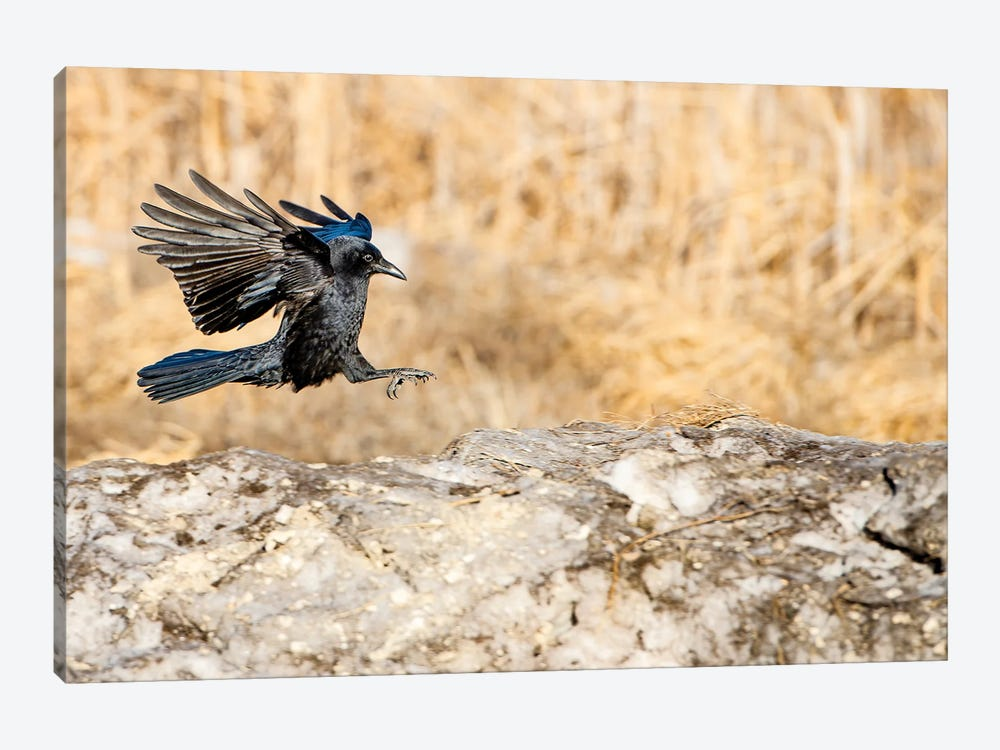 Landing On The Rock Crow by Nik Rave 1-piece Canvas Wall Art