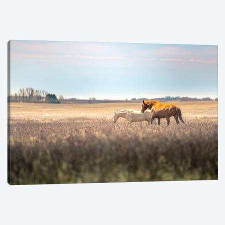 Wild Horses At The Field At Evening Canvas Print #NRV136} by Nik Rave Canvas Art Print