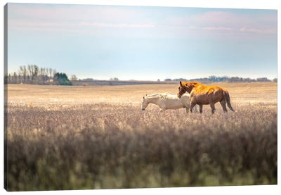 Wild Horses At The Field At Evening Canvas Art Print