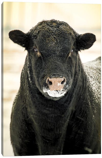 Bull Portrait Snow In Black And White Canvas Art Print