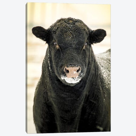 Bull Portrait Snow In Black And White Canvas Print #NRV14} by Nik Rave Canvas Artwork