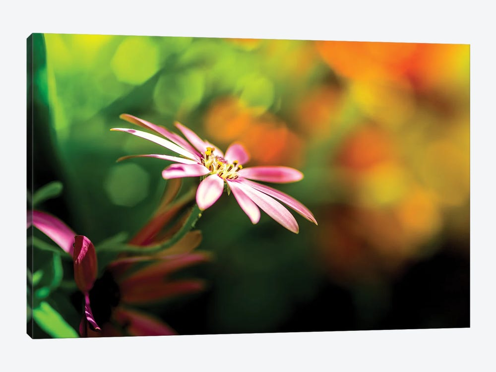 Chamomile In A Rainbow Light by Nik Rave 1-piece Canvas Artwork