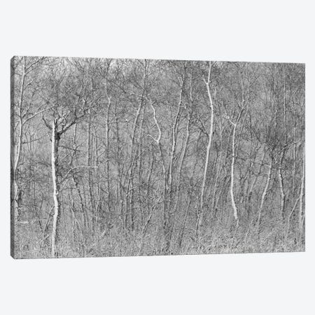 Birchwood Winter Forest Black And White Ii Canvas Print #NRV151} by Nik Rave Canvas Artwork