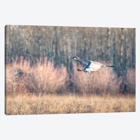 Blue Crane Sequence In Flight III Canvas Print #NRV160} by Nik Rave Art Print