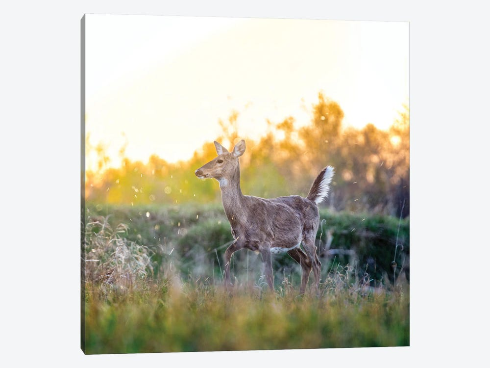 Pregnant Deer At The Beautiful Evening by Nik Rave 1-piece Canvas Wall Art
