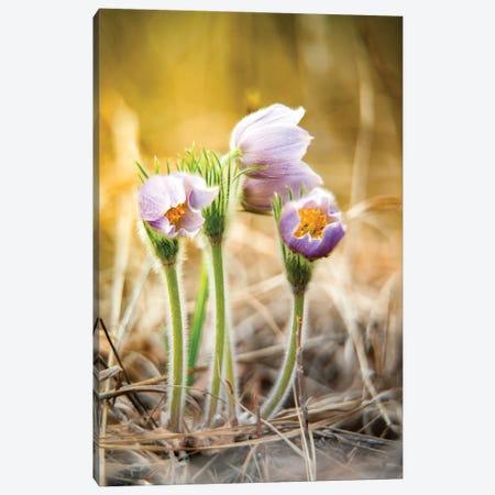 Crocus Flowers Canvas Print #NRV169} by Nik Rave Art Print