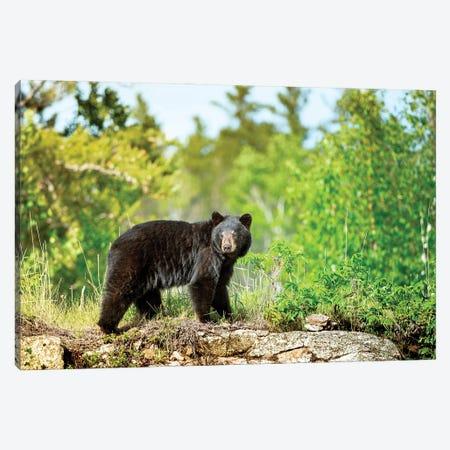 A Black Bear On The Rock Canvas Print #NRV177} by Nik Rave Canvas Print
