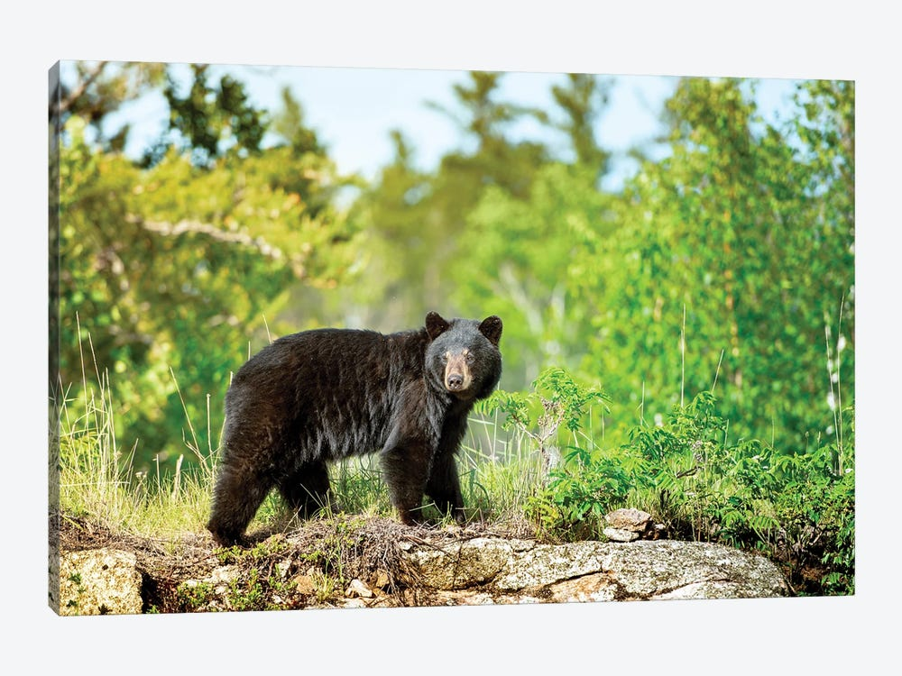 A Black Bear On The Rock by Nik Rave 1-piece Canvas Print