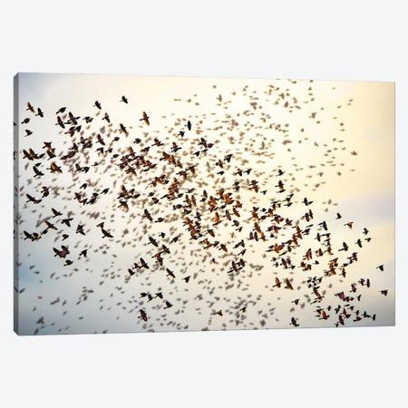 Big Robbins Flock Canvas Print #NRV179} by Nik Rave Canvas Wall Art