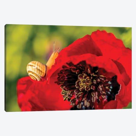 Snail Crawling Over Poppy Canvas Print #NRV183} by Nik Rave Canvas Art Print