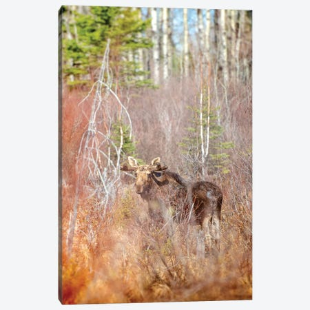 Moose In A Forest Canvas Print #NRV191} by Nik Rave Canvas Art