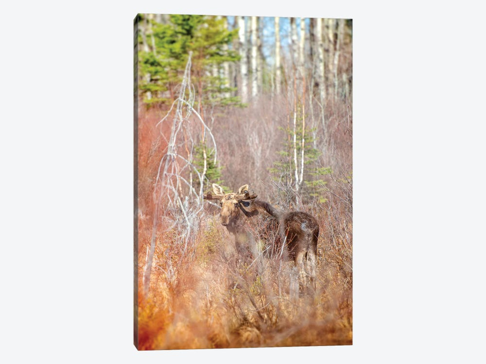 Moose In A Forest by Nik Rave 1-piece Canvas Print