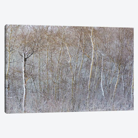Birchwood Winter Forest Color Right II Canvas Print #NRV194} by Nik Rave Canvas Art Print