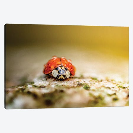 Ladybug In Rain Drops Covered Sitting On The Rock In A Light Of Sun Canvas Print #NRV197} by Nik Rave Art Print