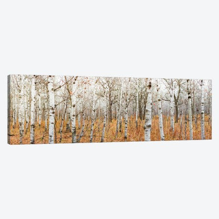 Birch Grove Panoramic Canvas Print #NRV1} by Nik Rave Canvas Art Print