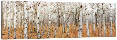 Birch Grove Panoramic Canvas Art Print