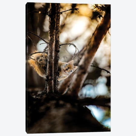 Squirrel On The Top Of The Pine Canvas Print #NRV212} by Nik Rave Art Print