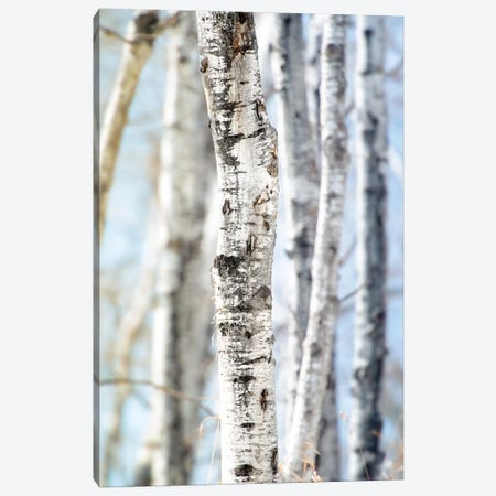 Birchwood Tree Close Up Lit Bye Blue Sky Canvas Print #NRV220} by Nik Rave Canvas Artwork