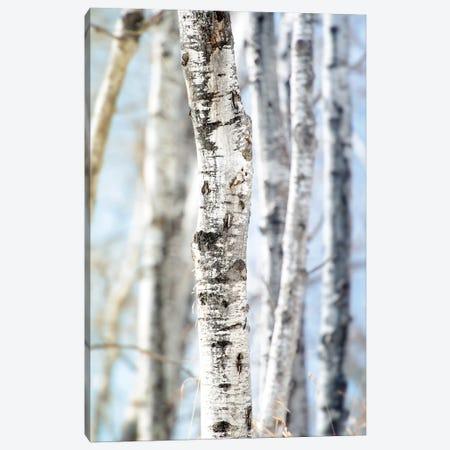 Birchwood Tree Close Up Lit Bye Blue Sky Canvas Print #NRV220} by Nik Rave Canvas Artwork