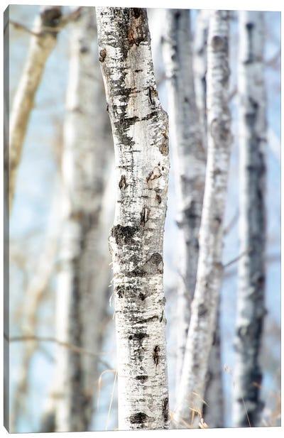Birchwood Tree Close Up Lit Bye Blue Sky Canvas Art Print