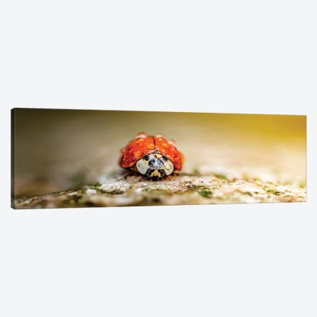 Ladybug In Rain Drops Covered Sitting On The Rock In A Light Of Sun Canvas Print #NRV222} by Nik Rave Canvas Art