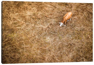 Cow & Grass From Above Canvas Art Print